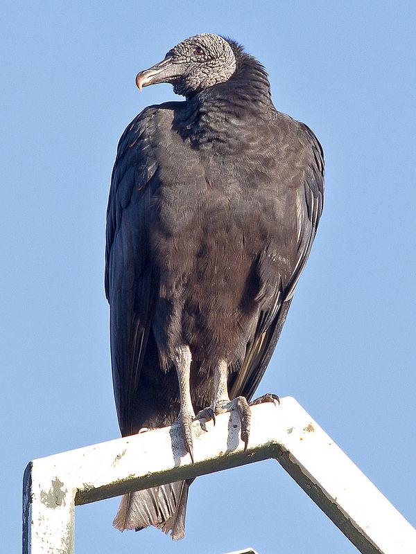 44 best images about Birds-Cathartidae-Vultures on ...